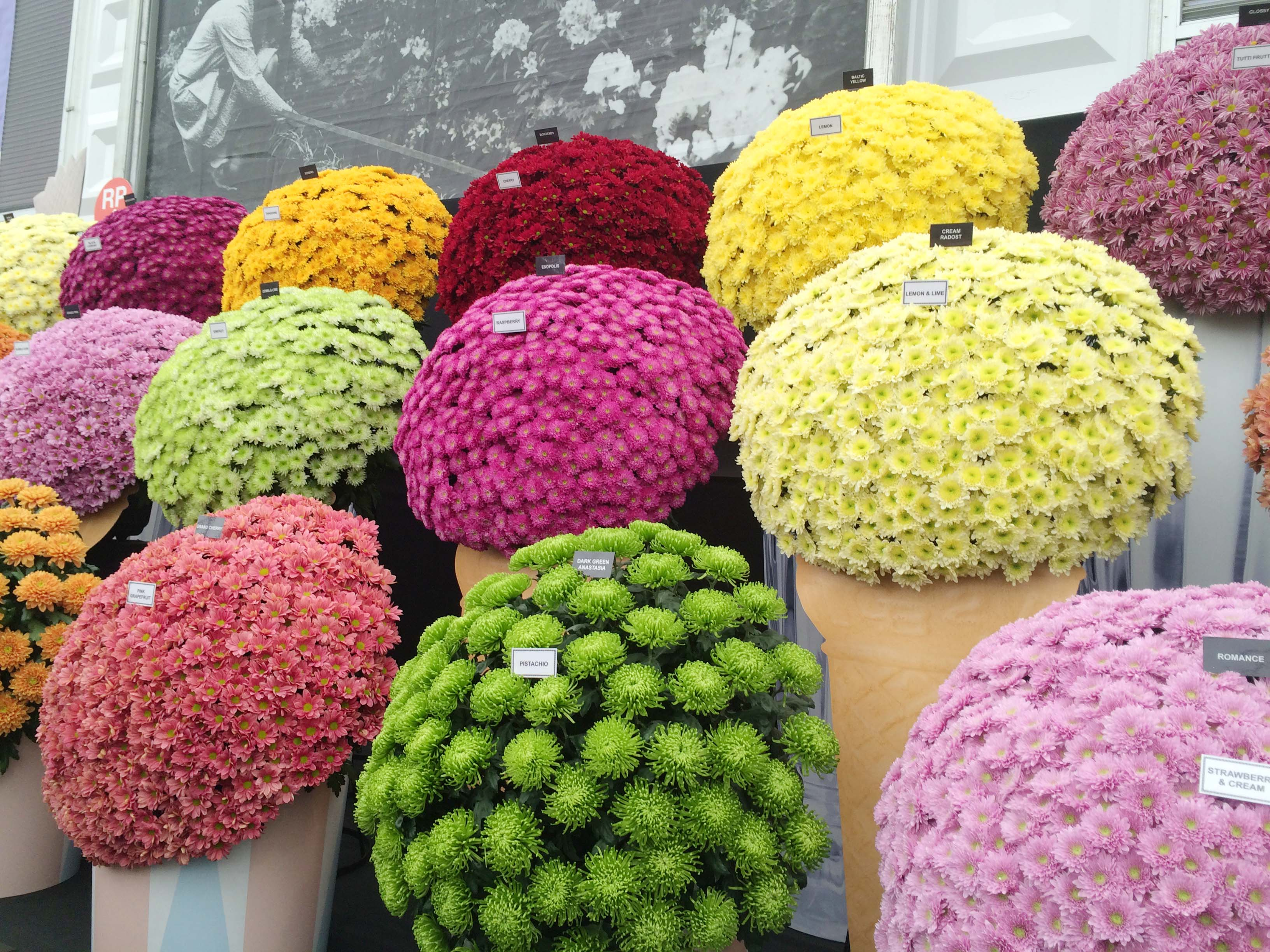 Chrysanthemums at Chelsea
