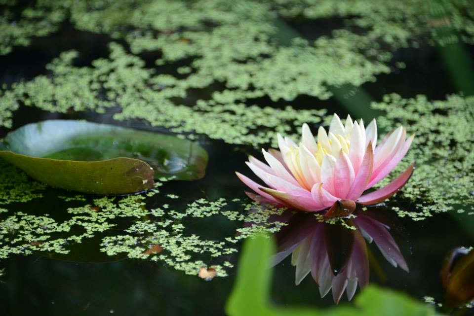 Waterlily on green pond