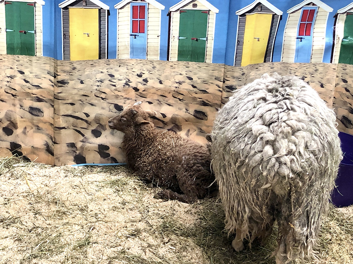 Brown Lamb at Woolfest 2019