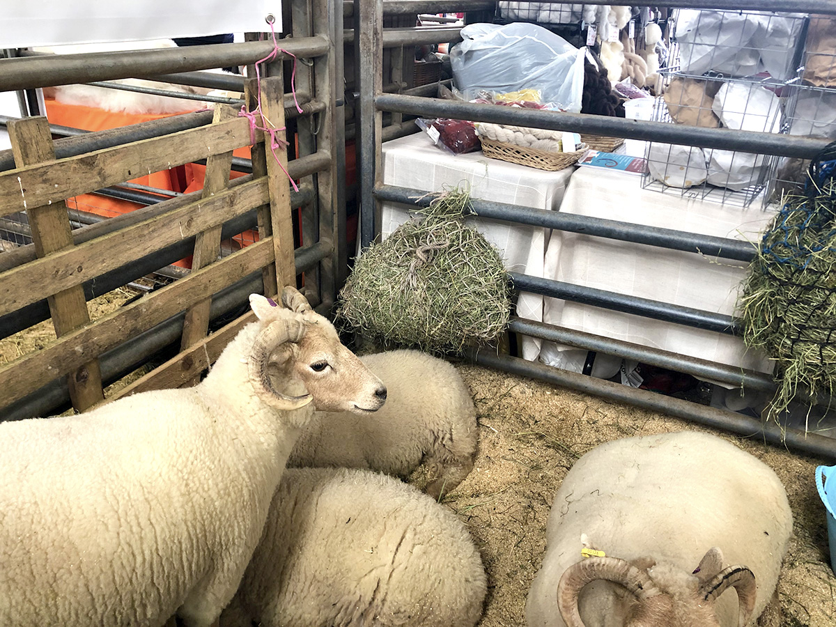 Sheep at Woolfest 2019