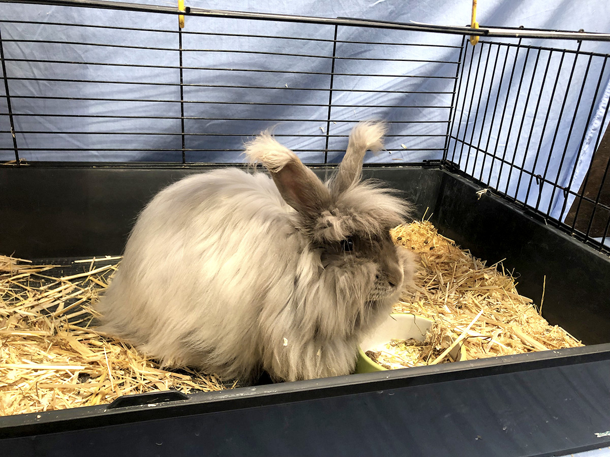 Angora rabbits at Woolfest 2019