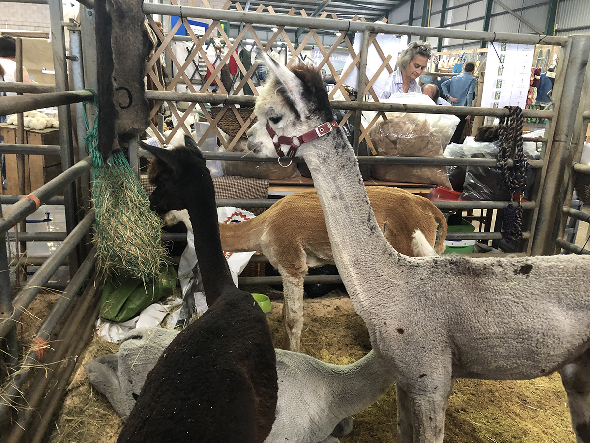 Alpacas at Woolfest 2019