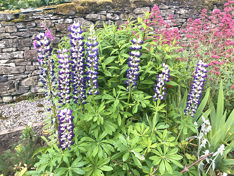 Lupins in garden on garden safari