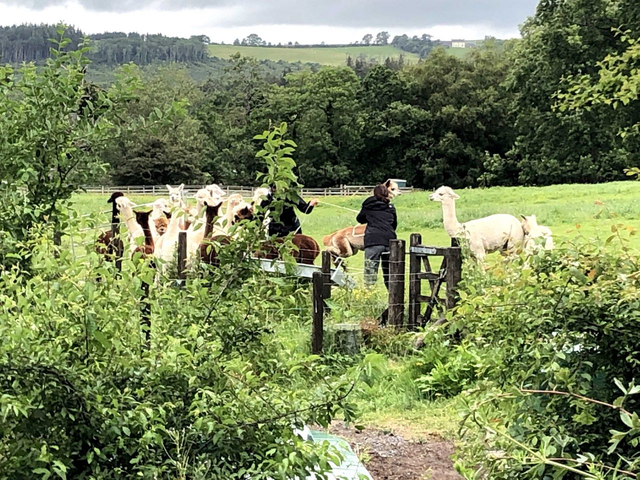 Temporary Measure Alpacas at Lakes Distillery